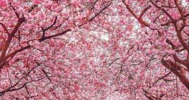 La spada e il fiore di ciliegio